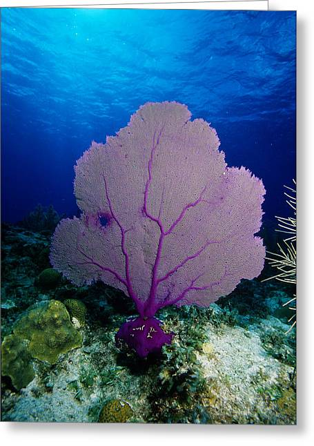 Common Sea Fan Greeting Card by Andrew J. Martinez