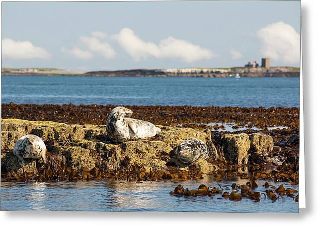 Common Seals Greeting Card