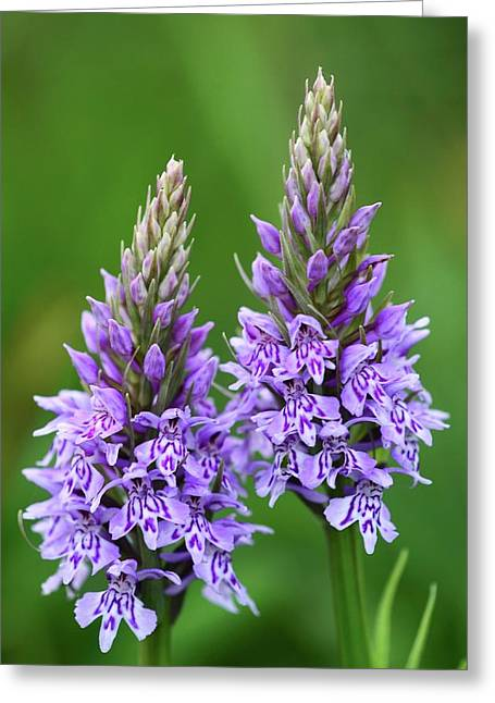 Common Spotted Orchids Greeting Card by Colin Varndell