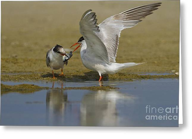 Common Tern Sterna Hirundo Greeting Card by Eyal Bartov