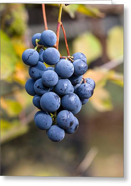 Concord Grapes Greeting Card by Michael Russell