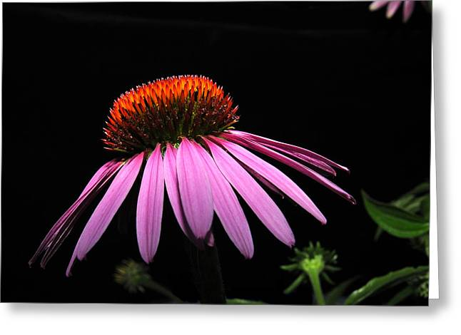 Greeting Card featuring the photograph Cone Flower by David Armstrong
