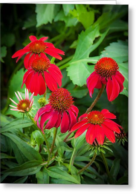 Coneflowers Echinacea Red Painted  Greeting Card by Rich Franco