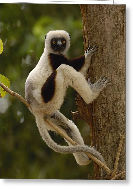 Coquerels Sifaka Madagascar Greeting Card by Pete Oxford