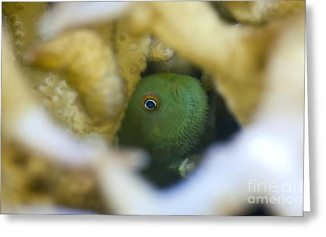 Coral Goby Hiding Inside Hard Coral Greeting Card by Matthew Oldfield