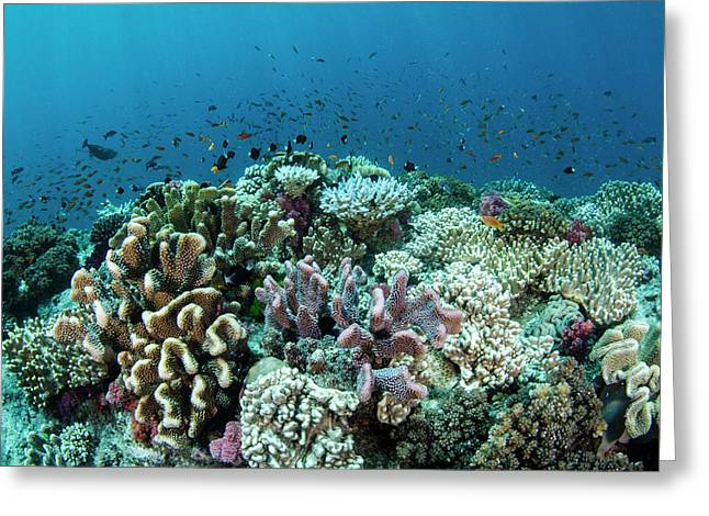Coral Reef Diversity, Fiji Greeting Card by Pete Oxford