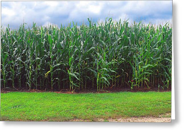 Corn Field, Coles, Philo, Urbana Greeting Card by Panoramic Images