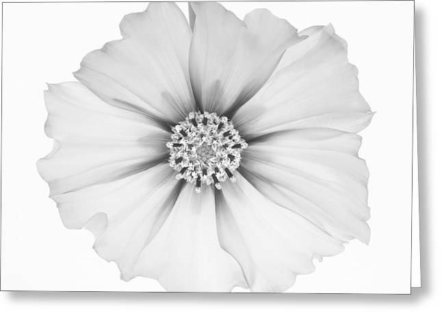 Cosmos Flower In Black And White. Greeting Card by Rosemary Calvert