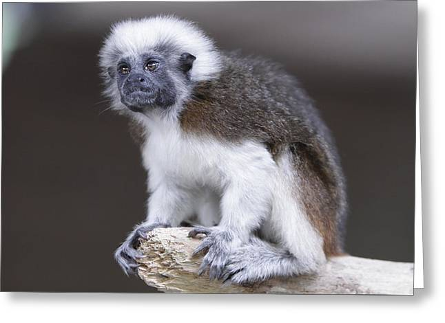 Greeting Card featuring the photograph Cotton Top Tamarin by Shoal Hollingsworth