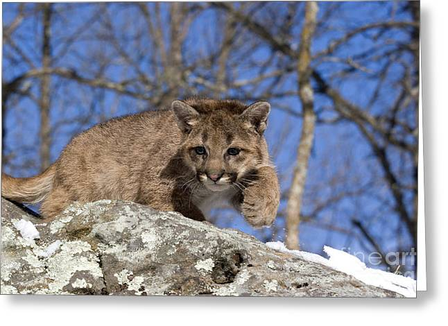 Cougar Cub Greeting Card by Linda Freshwaters Arndt