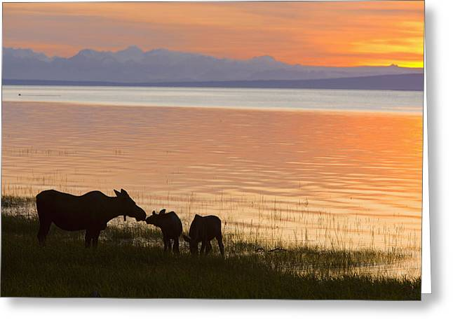 Cow And Two Calf Moose Feeding Along Greeting Card