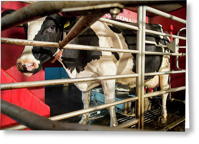 Cow In Milking Machine Greeting Card by Aberration Films Ltd