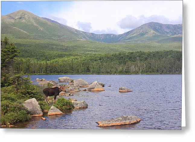 Cow Moose And Mount Katahdin Greeting Card by John Burk