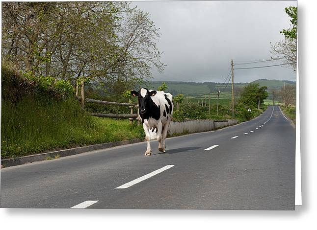 Cow Walks Along Country Road Greeting Card