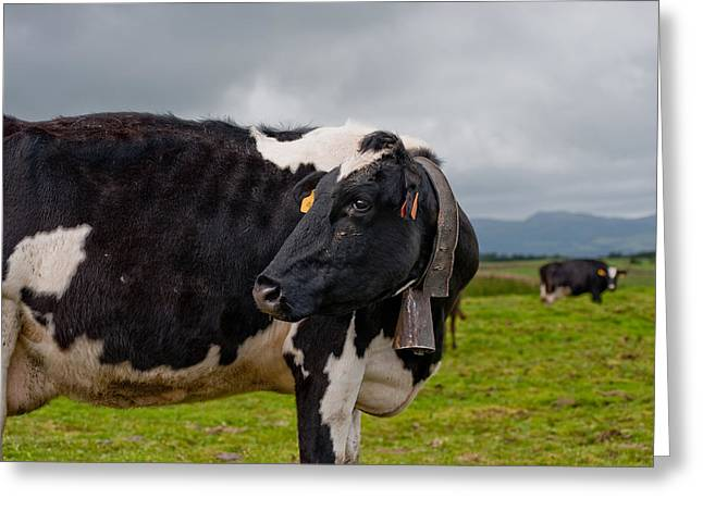 Cow Wearing Cowbell  Greeting Card