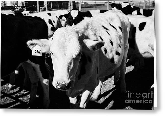 cow with ear tags beef cattle herd saskatoon Saskatchewan Canada Greeting Card by Joe Fox