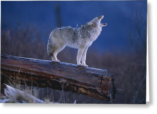 Coyote Standing On Log Alaska Wildlife Greeting Card by Doug Lindstrand