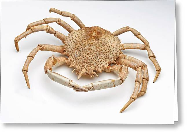 Crab Exoskeleton Specimen Greeting Card by Ucl, Grant Museum Of Zoology