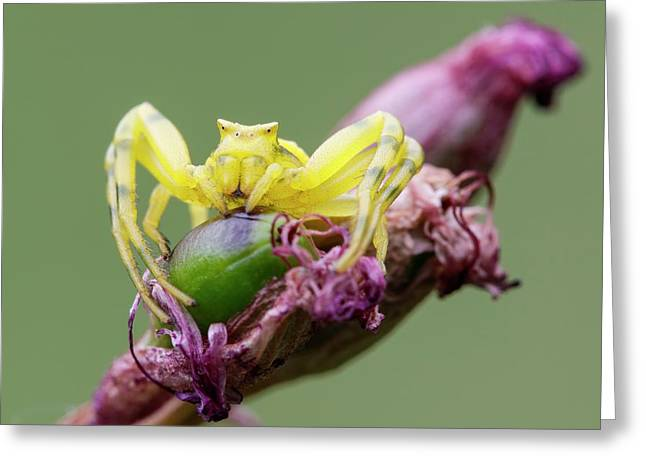 Crab Spider Greeting Card by Heath Mcdonald