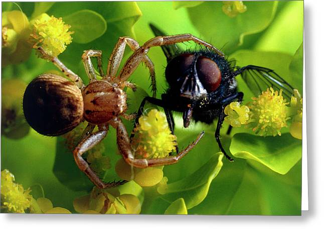 Crab Spider With Fly Greeting Card by David Spears/science Photo Library