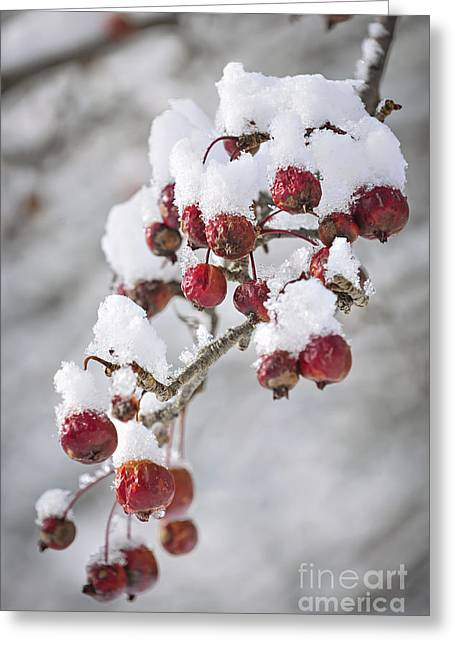 Crab Apples On Snowy Branch Greeting Card