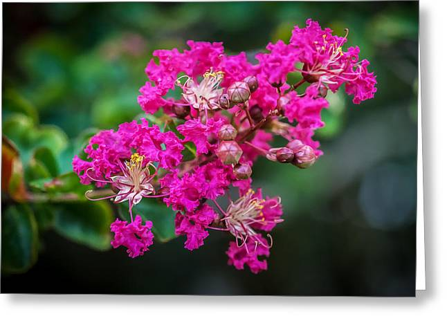 Crape Myrtles Tree Lagerstroemia Painted  Greeting Card by Rich Franco