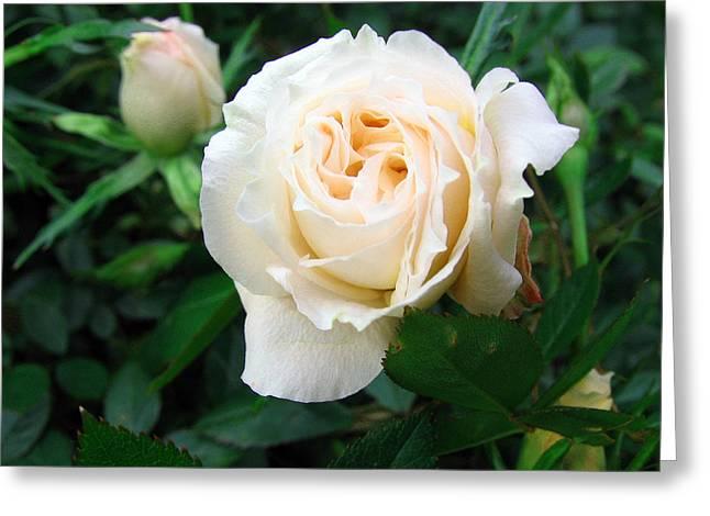 Cream Pot Rose Greeting Card