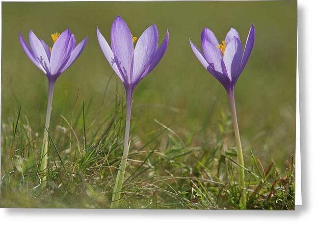 Crocus (crocus Nudiflorus) Flower Greeting Card by Bob Gibbons