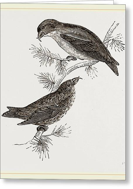 Crossbills Greeting Card by Litz Collection
