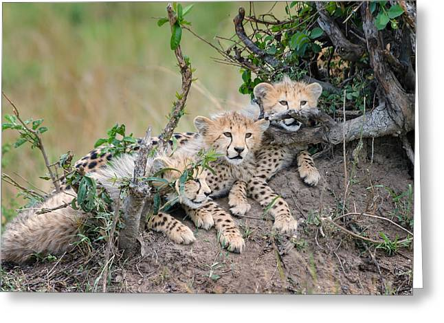 Curious Kittens Greeting Card by Cheryl Schneider