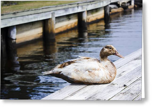 Cute Brown Duck Sitting On A Wooden Pier Greeting Card