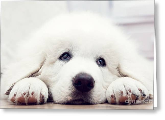 Cute White Puppy Dog Lying On Wooden Floor Greeting Card by Michal Bednarek