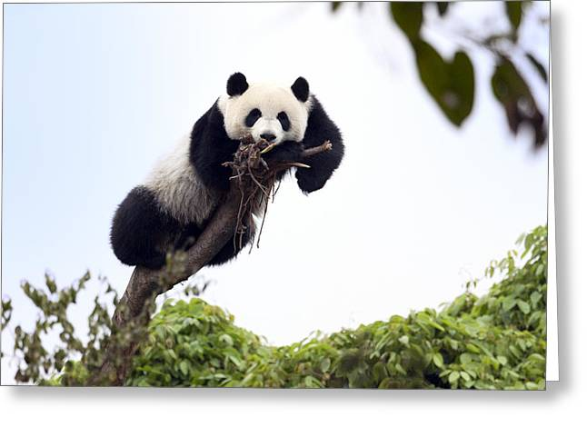 Cute Young Panda Greeting Card