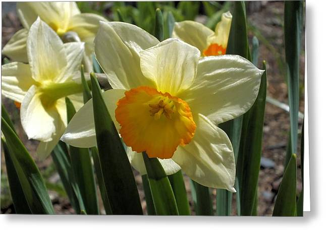 Greeting Card featuring the photograph Daffodil by Gene Cyr