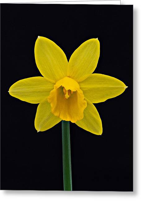 Greeting Card featuring the photograph Daffodil by Paul Gulliver