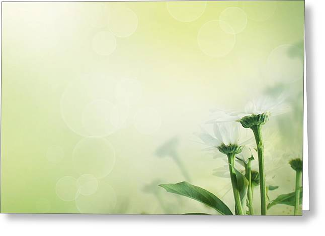 Daisy Background Greeting Card