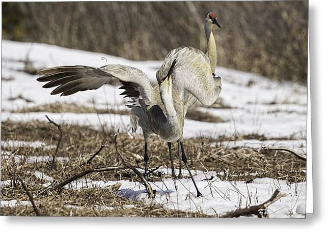 Dancing Crane Greeting Card by Thomas Young