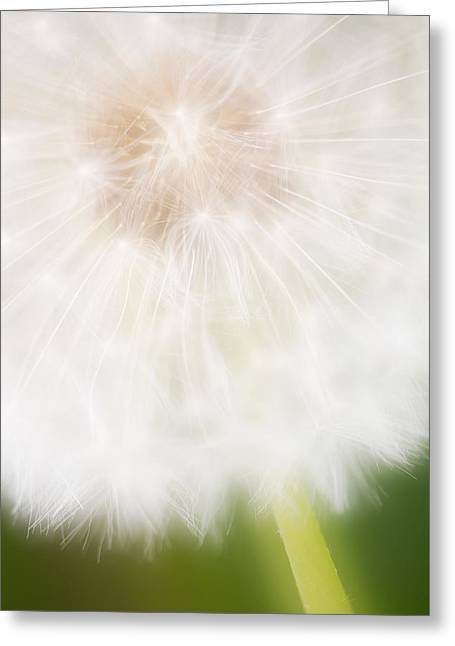 Dandelion Seedhead Noord-holland Greeting Card
