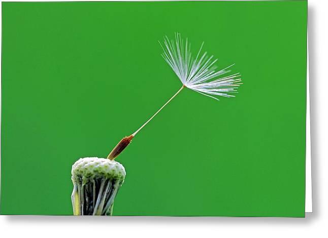 Dandelion (taraxacum Officinale) Seedhead Greeting Card