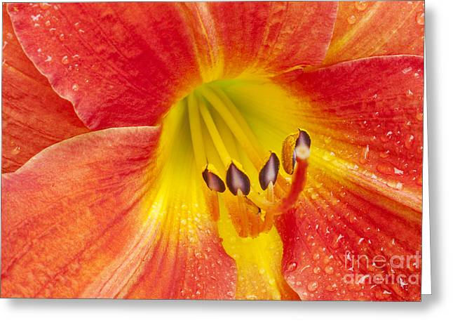 Daylily Greeting Card by Jonathan Welch