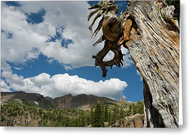 Dead Limber Pine (pinus Flexilis Greeting Card by Howie Garber