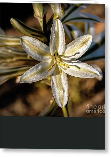 Desert Lily Greeting Card