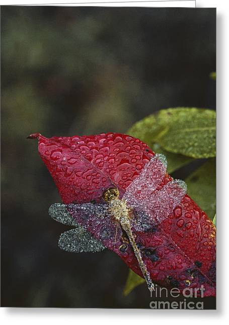 Dew-covered Dragonfly Greeting Card by Larry West