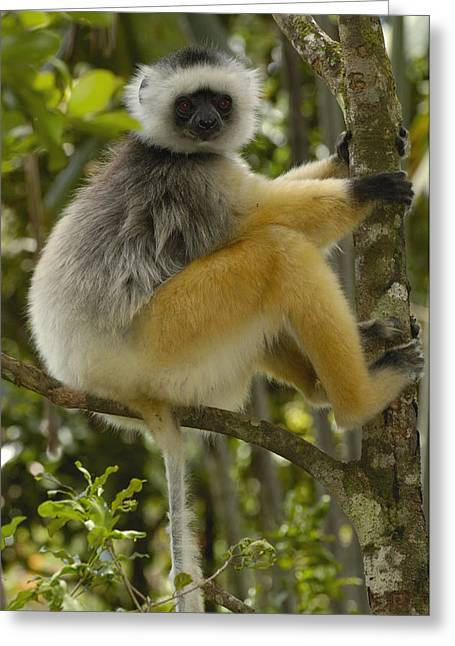 Diademed Sifaka Madagascar Greeting Card by Pete Oxford