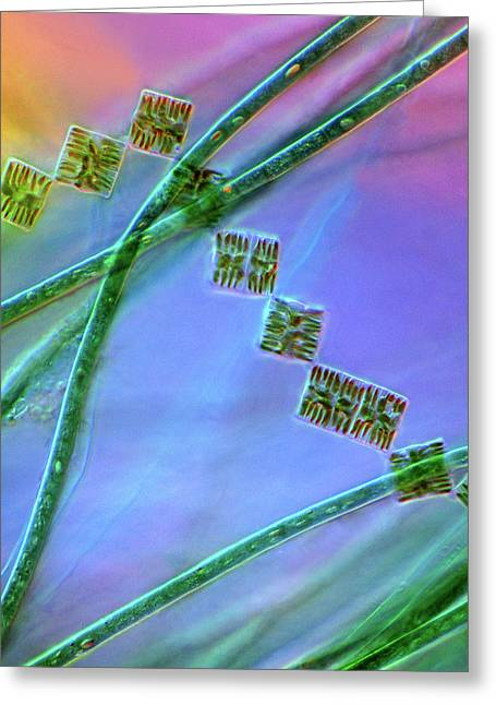 Diatoms And Cyanobacteria Greeting Card by Marek Mis