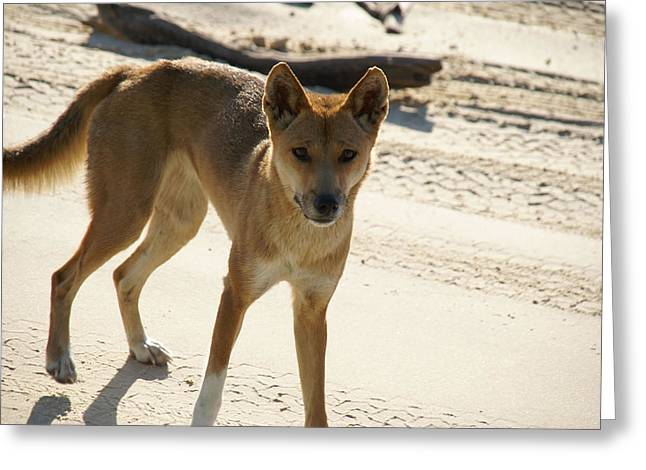 Dingo Greeting Card by Carol Ailles