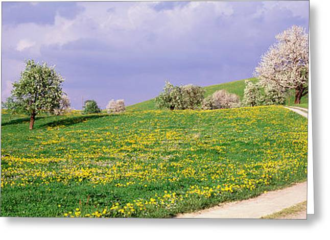 Dirt Road Through Meadow Of Dandelions Greeting Card by Panoramic Images