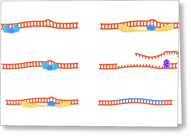 Dna Repair Mechanism Greeting Card
