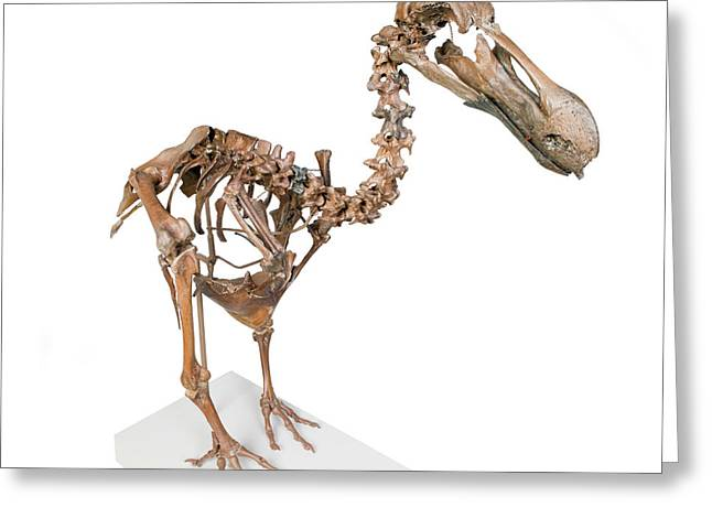 Dodo Skeleton Greeting Card by Natural History Museum, London