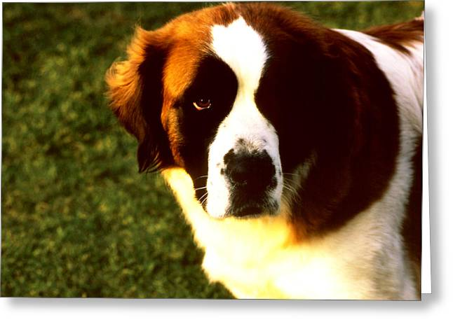 Dog Face Greeting Card by Robert  Rodvik